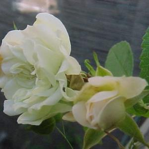 去年の薔薇やめんま。