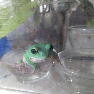 ぱつぱつの水場なカエルとめんま。