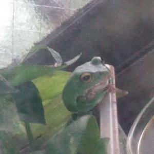 12月のカエルとめんま。