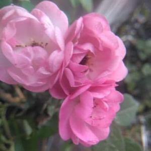 バラなどの植物とめんま。