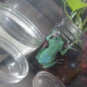 ちょっとだけ青いカエルとめんま。