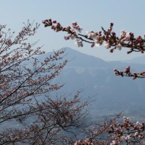 秩父にも春 花咲く美の山公園へ