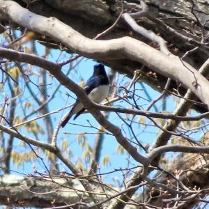 オオルリ~幸せの青い鳥見~つけた☆~