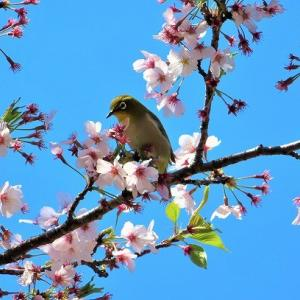 桜とメジロと青空と。。。