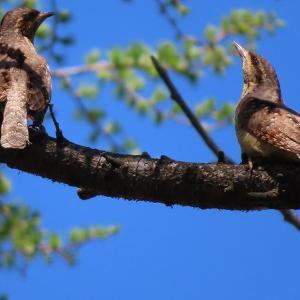 鎧のような羽を持つキツツキ科の鳥「アリスイ」