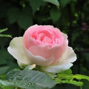 ロイズのパンで朝食も☆あいの里ロイズローズガーデンの薔薇が見事です☆