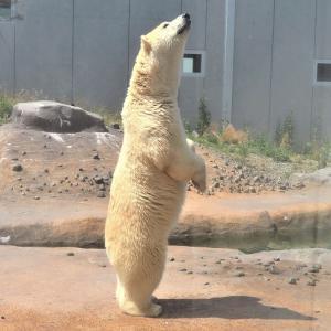 円山動物園の白くま(ホッキョクグマ)のララちゃんがシャキーン!と立ち上がった!