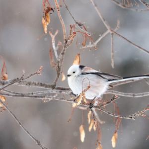 シマエナガや北海道の野鳥たち☆