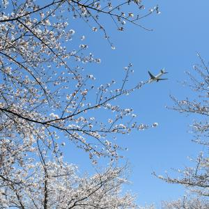With cherry blossoms 2020 Vol.1