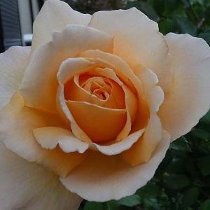 今日咲いてるバラは僅か、ジャスト・ジョーイ、MIA愛子、ルイ十四世など