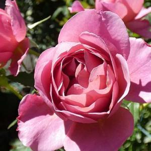 台風の中咲いていたバラ、あおい、オフィーリア、クリーミーエデン@台風対策した鉢バラ