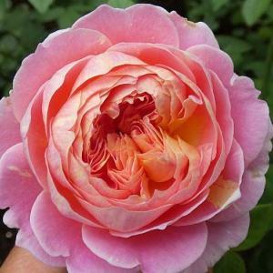 秋のバラ咲く、クロードモネ、アルシデュックジョゼフ、アレトゥーサ など