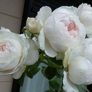 雨が降り続いて咲くバラ~クリスティアーナ、ブラッシュ・ノワゼットほか