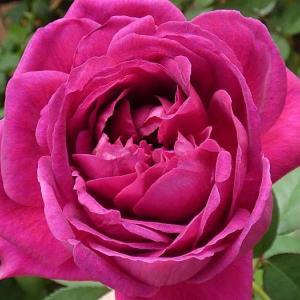今日のバラ~エルトゥールル、ルージュピエールほか@色づいてきた秋バラの蕾