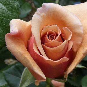 春のバラ20~21番目、ジュリア、エレンウィルモット@強雨でも残ったバラ