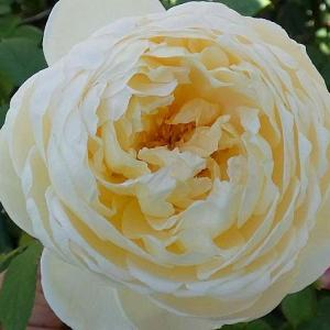 バラは秋色深く、クレア・オースチン、ザ・ウエッジウッド・ローズ ほか