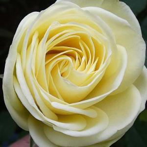 冬に咲くバラ@開花しそうな蕾~クリーミーエデン、クロードモネ、クロードモネなど