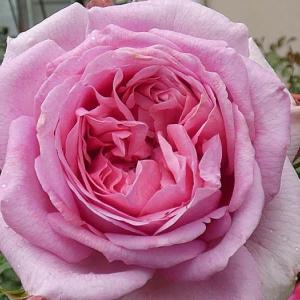 春バラ~ローズポンパドゥールなど5品種@二番花はシカゴピースなど5品種