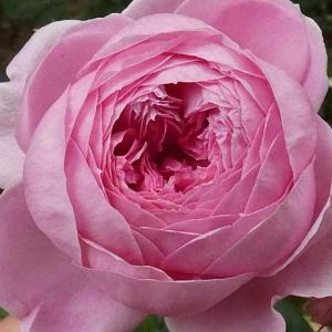 今日咲いてるバラ、アランティッチマーシュ、ステファニードゥモナコなど@バラ作業お休み