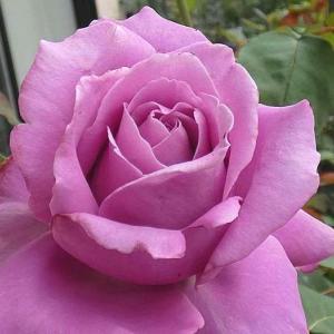 今日咲いてるバラ、シャルルドゥゴール、ジュリア、みやこ等@小道作りを続けてます。
