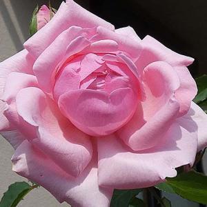 今日咲いてるバラ、羽衣、芳純、アヴェ・マリアなど@小道作り東西南北開通