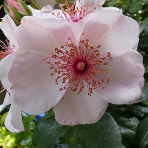 増えてきたバラの二番花、ピンクサクリーナ、みやこ、夜の調べ、ルイ十四世