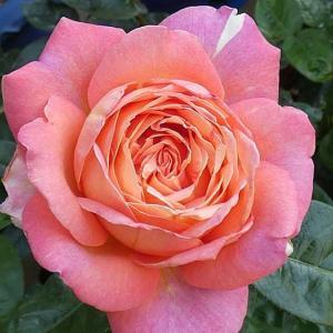 今日咲いたバラ シカゴピース、エルモサ、ザウエッジウッドローズ、サントゥールロワイヤル