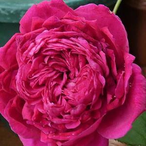 雨の中咲きだしたバラ エルトゥールル、シャルルドゥゴール、シャンテロゼミサト