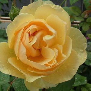 バラの二番花 グラハムトーマス、実生苗、スヴェニールドゥラマルメゾン@期待できる返り咲きバラの蕾