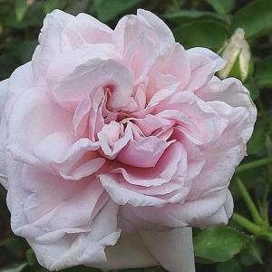 バラの開花 スヴェニールドゥラマルメゾン@二番花の蕾がいっぱいのバラ庭