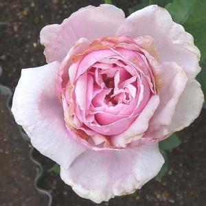 バラの二番花 ラフランス、アルシデュックジョゼフ、エルモサなど@楽しみな交配種の生長