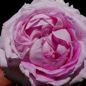 今日のバラ~パヴィヨン・ドゥ・プレイニー、ジ・アレンウィック・ローズ、ティファニーなど