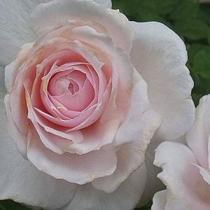 二番花の開花は~みさき、香純、クリスティアーナ、マクミランナース