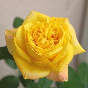 明るくなるトロピカル・シャーベット、梅雨時に強いイングリッシュローズ5品種