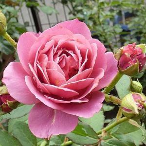 和バラの「あおい」、元気で強い「ローズ・ポンパドゥール、「かおり」など