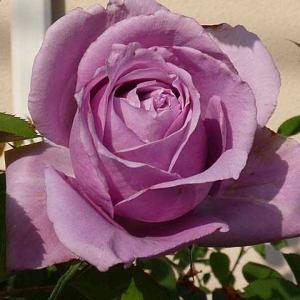 今日咲いてるバラ~シャルルドゥゴール、アルシデュックジョゼフ、ルイ十四世、エルトゥールルなど