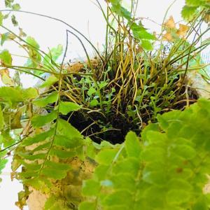 《植物》奇跡の生還!危機的 indoor green 、再生中!