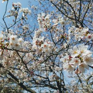 コラボ商品と、桜