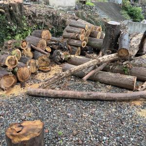 【針葉樹とカシなど】薪仲間と一緒に玉切り