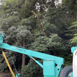 【伐採】先日の立ち枯れの木を伐採する
