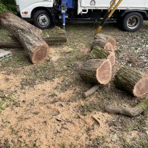 【伐木した木】伐木した木を玉にして回収する