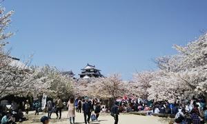 瀬戸内は桜満開
