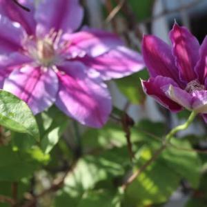 抗老化作用の研究はどんどんとすすんでいます🥀花写真はクレマチス
