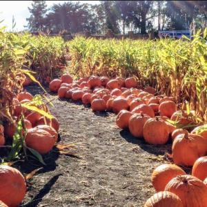 パンプキンの川と迷路のArata's Pumpkin Farm