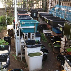 庭はボチボチ最終水換えかも。