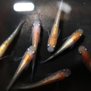 黄ラメ(体外光)