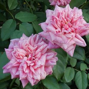 秋剪定が進み残ってるバラは僅か~アルシデュックジョゼフ、エリアーヌジレ、かおり、香純、など