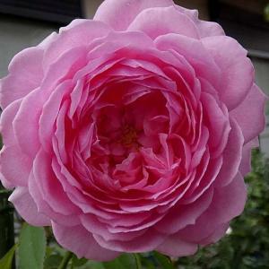 今日咲いてるバラ~アランティッチマーシュ、パヴィヨンドゥプレイニー、ローズポンパドゥールなど