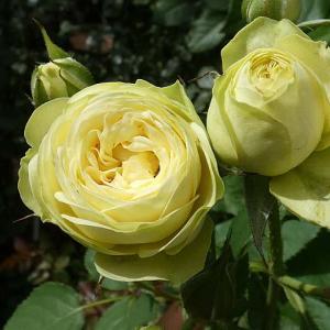台風で残ったバラ、クリーミーエデン、ミミエデン@春のバラ初開花16番目~マルメゾン(略)