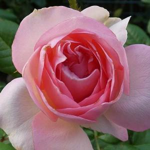 今日咲いたバラ、ギイドゥモーパッサン、ジュードジオブスキュア、スヴェニールドゥラマルメゾンなど